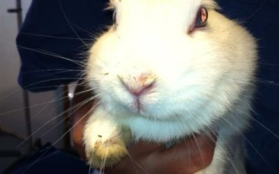 Prezentare de caz la un iepure pitic: Strănutul nu trebuie întotdeauna sa fie cauzat de gripa – chiar si o malpoziție dentara poate induce aceste simptome!